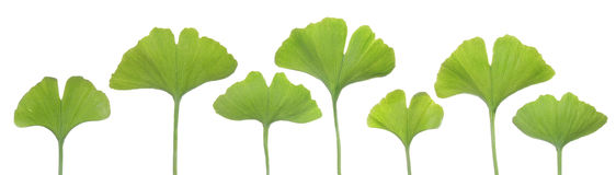 Young gingko leaves on white background Royalty Free Stock Image