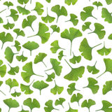Young gingko leaves on white background Stock Photos