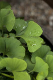 Young Ginkgo biloba leaves Stock Photo