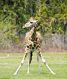 Young Girafe. Standing with front legs spread in a funny pose Royalty Free Stock Images