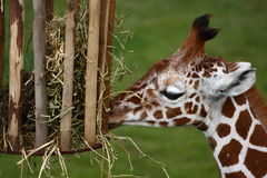 Young giraffe. A photo of a Giraffe royalty free stock photos