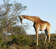 Young Giraffe Stock Images