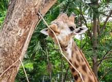 Young giraffe Royalty Free Stock Image