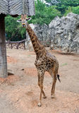 Young giraffe Stock Image