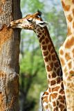 Young giraffe. Near a trunk of tree Stock Photography
