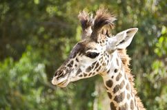 Young Giraffe Royalty Free Stock Photos