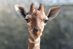 Young giraffe. Portrait of a young giraffe Stock Images