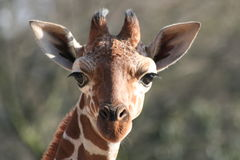 Young giraffe. Portrait of a young giraffe Stock Image