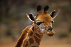 Young giraffe. Closeup of a young giraffe stock image