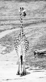 Young giraffe in african savanna. View from behind. Black and white image Stock Images