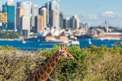 Young giraffe against Sydney Opera House on the background. Sydney, Australia - July 23, 2016: Young giraffe against Sydney Central Business District and Sydney Royalty Free Stock Photos