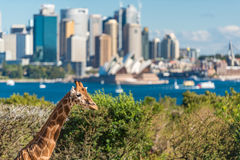 Young giraffe against Sydney Opera House on the background. Sydney, Australia - July 23, 2016: Young giraffe against Sydney Central Business District and Sydney Stock Image