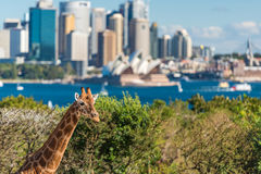 Young giraffe against Sydney Opera House on the background. Sydney, Australia - July 23, 2016: Young giraffe against Sydney Central Business District and Sydney Stock Photos