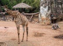 Young giraffe animal and young zebra animal. Line on ground stock photo