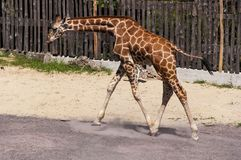 Young Giraffe at Bioparco Royalty Free Stock Images