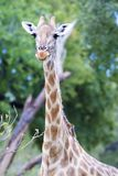 Young giraffe, Botswana. Young beautiful giraffe with oxpecker bird, Botswana Royalty Free Stock Photos