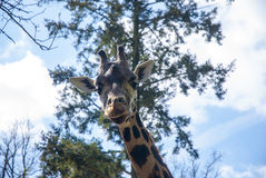 Young Giraffe in captive. Young giraffe Looking at me, straight into the camera. This giraffe is bred in a zoo in Liberec in Czech Republic Stock Images