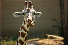 Young Giraffe Close Up Royalty Free Stock Photography