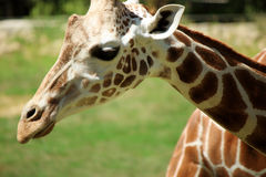 Young Giraffe Close Up. A close up of a young giraffe royalty free stock image