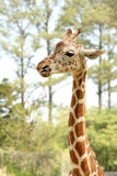 Baby giraffe eating stock images