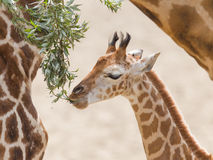 Young giraffe eating. Close up of a young giraffe eating leaves Royalty Free Stock Photos