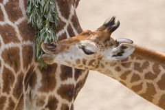 Young giraffe eating. Close up of a young giraffe eating leaves Stock Photography