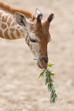 Young giraffe eating. Close up of a young giraffe eating leaves Royalty Free Stock Photo