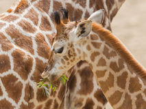 Young giraffe eating. Close up of a young giraffe eating leaves Royalty Free Stock Images