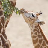 Young giraffe eating. Close up of a young giraffe eating leaves Stock Image