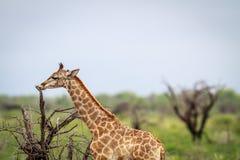 Young Giraffe eating. Royalty Free Stock Image