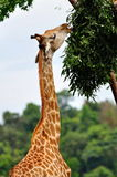 Young giraffe eating leaves Royalty Free Stock Images