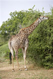 Young giraffe feeding Stock Image
