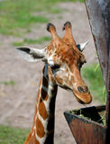 Young giraffe feeding Royalty Free Stock Images