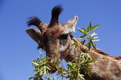 Free Young Giraffe Feeding On Leaves Royalty Free Stock Photos - 132378318