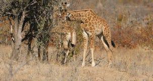 Giraffe feeding on a tree stock video footage