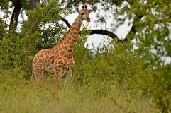 Young Giraffe (Giraffa camelopardalis) Stock Photography