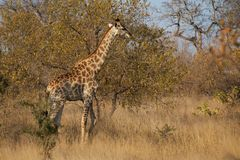Young Giraffe on the go in Kruger National Park stock image
