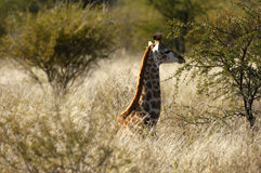 Young Giraffe hiding Stock Images