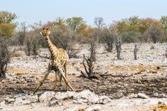 Young giraffe at Kalkheuwel waterhole in Etosha national park Stock Images