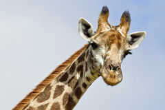 Giraffe looking down Stock Photography