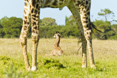 Young giraffe lying in long grass Royalty Free Stock Image