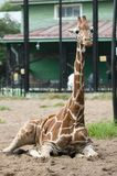 The young giraffe is lying on the sand against the background of a green building royalty free stock photos