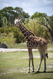 Young Giraffe stock photography