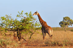 Young giraffe in morning sunshine Royalty Free Stock Images