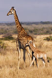 Young Giraffe With Mother. A baby giraffe calf with its mother; looking closely, there are two cowbirds on the back of mama doing some cleaning. The giraffe ( Royalty Free Stock Images