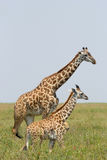 Young giraffe with mother Stock Images