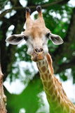 Young giraffe munching Stock Photo
