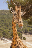 Young giraffe Royalty Free Stock Images