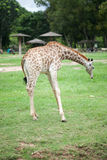 Young giraffe Stock Photography