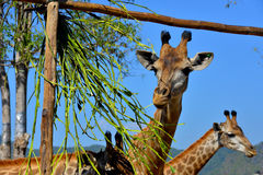 Young Giraffe in the open zoo. Young giraffe are eating  lunch in Boon Rawd farm Royalty Free Stock Photos